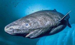 世界上最长寿的鲨鱼,小头睡鲨可活700岁