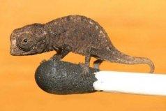 世界上最小的蜥蜴,雅拉瓜壁虎身长仅1.6厘米