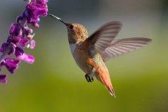 世界上体型最小的10种鸟,吸蜜蜂鸟排第一