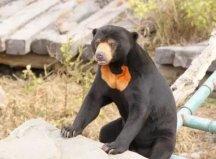世界上体型最小的熊,马来熊体长不超1.5米