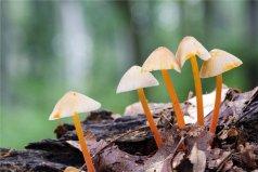 世界上最小的蘑菇,小喷蘑菇毒性很大