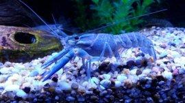 世界上罕见的神秘物种,蓝色龙虾位列第一