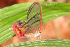 世界上最稀有的蝴蝶,玫瑰水晶眼蝶很罕见
