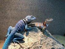 世界上最漂亮的蜥蜴,环颈蜥颜色丰富多彩