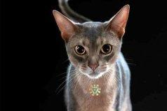 世界上血统最高贵的猫:阿比西尼亚猫