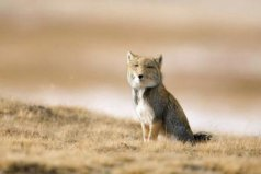 藏狐是种什么样的动物?藏狐有什么特点?