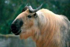 六不像是什么动物?羚牛因长相奇特而得名