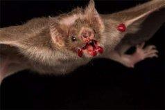 世界上最恐怖的蝙蝠,吸血蝙蝠靠吸血为生