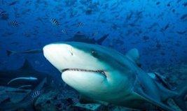 世界上最好斗的鲨鱼,牛鲨的战斗力超强