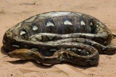 世界上体型最大的蛇类,网纹蟒最长达14.85米