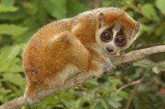 世界上唯一使用毒液的猴子 小懒猴动作十分迟缓