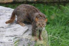 世界上体型最小的猫科动物——锈斑豹猫
