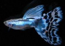 世界上最好养的鱼是什么鱼?首选孔雀鱼!