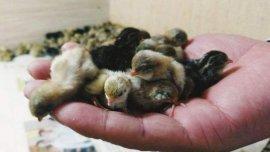 世界上最小的鸡,芦丁鸡的蛋与硬币相当