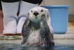 世界最贵的动物皮毛,海獭皮毛深受人们喜爱