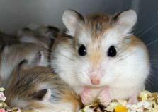 世界上最小的仓鼠:罗伯罗夫斯基仓鼠