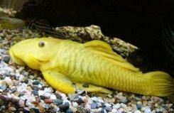 世界身价最贵的异型鱼,24k黄金达摩身价过万