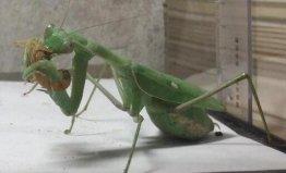 世界上最大最凶的螳螂,金属螳螂天性凶猛