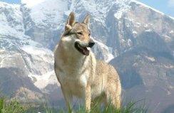 世界上最贵的狗,捷克狼犬拍卖到35亿元