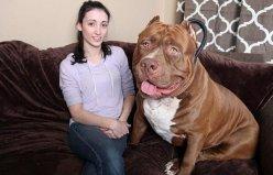 世界上最大的斗牛犬,浩克体重超过160斤