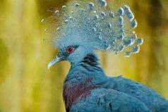 世界上最大最美的鸽子:维多利亚凤冠鸠