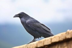 世界上最大的乌鸦,渡鸦翼展可达118厘米