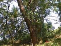 世界上最重的树,铁力木的密度最高
