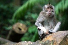 世界上最珍稀的猴子,食蟹猴会模仿人类动作