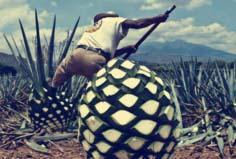 世界上最大的果子,龙蛇兰果重达上百斤