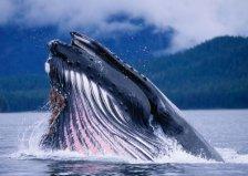 世界上最大的吃货,蓝鲸一天可吃5吨食物