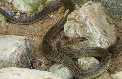 世界上最胆小的蛇,灰鼠蛇见人就跑