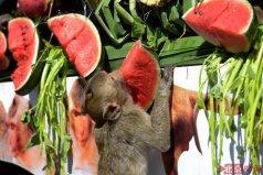 世界上最搞笑的节日:泰国猴子大餐节