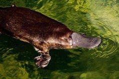 世界上最古老的哺乳动物,非鸭嘴兽莫属