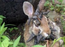 世界上最恐怖的兔子,肿瘤兔脸上长满肿瘤