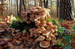 世界上最大的生物,蜜环菌年龄2400岁以上