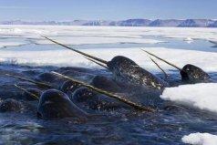 世界上奇特的十大物种,一角鲸的角堪比黄金