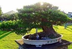 中国十大最贵植物,第一种价值600万元