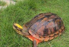 世界十大最漂亮乌龟,金钱龟排名第一