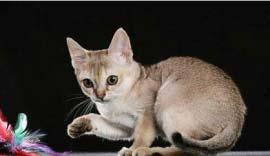 世界上最小的4种猫,看起来十分可爱