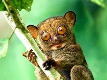 世界上眼睛最大的猴子,眼镜直径超过1厘米