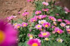 自然界中最常见的花色:红色最常见,由花青素决定
