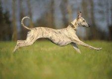 世界上跑得最快的狗,格力犬时速达70公里