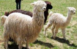 世界上毛最长的羊驼:当属苏利羊驼