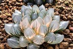 全球十大最贵多肉植物,第一种价格在10万左右