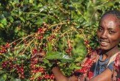 世界上著名的咖啡产地,第七因麝香咖啡而闻名
