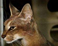 世界上最贵最稀有的猫:卡勒拉猫性格忠诚,形态健美