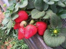 中国草莓有多少品种?中国十大草莓品牌