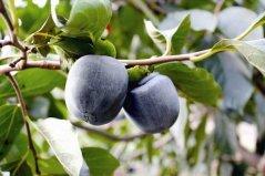 世界上最奇特的水果,黑柿口感似巧克力布丁