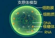 自然界中最小的细胞,支原体仅有0.1到0.3微米
