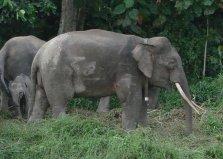 世界上体型最小的象:婆罗洲象身高仅2.5米